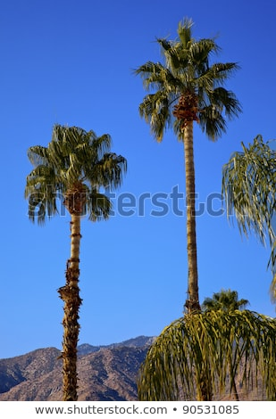 Fan Palms Trees Palm Springs California Stock photo © billperry