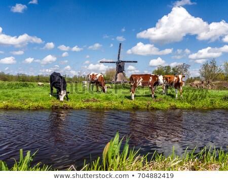 Moinho de vento ensolarado holandês paisagem belo cenário Foto stock © Hofmeester
