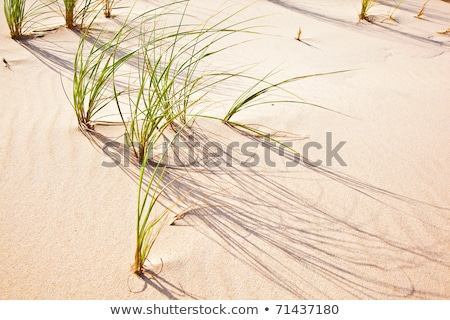 Wind blown grass on sand dune  Stock photo © meinzahn