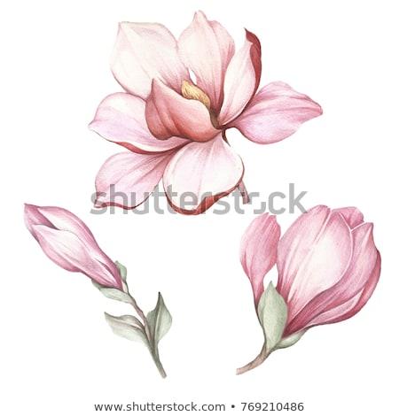 Mor tomurcuk manolya çiçek hazır erken Stok fotoğraf © taviphoto
