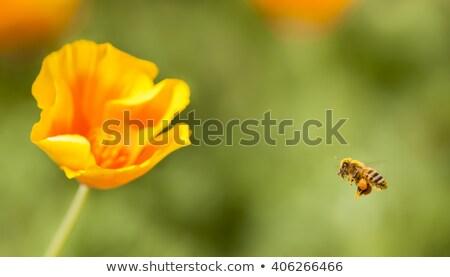 Stok fotoğraf: Turuncu · haşhaş · çiçek · arı · dışında