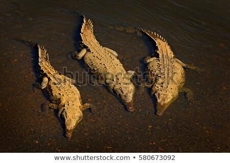 Trzy amerykański krokodyla wody zęby skóry Zdjęcia stock © OleksandrO