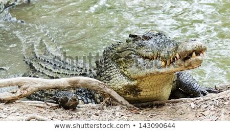 Krokodil medvebocs ki tojás kezek szem Stock fotó © OleksandrO