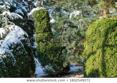 sneeuw · gedekt · boom · berk · hout - stockfoto © meinzahn