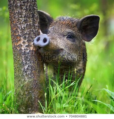 young wild pig stock photo © ivonnewierink