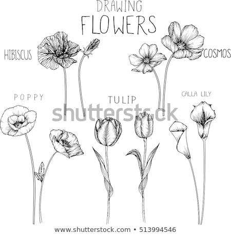 Stock fotó: Liliom · ceruza · rajz · rajz · pillangók · tavasz
