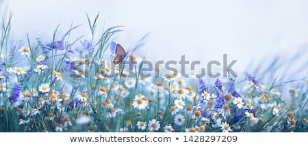 pea plant with flowers background stock photo © jonnysek