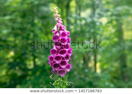 Mor çan çiçekler yaz bahçe Stok fotoğraf © brm1949