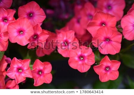 Flowers phlox. stock photo © EFischen