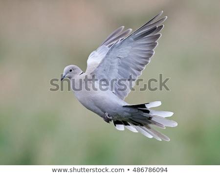 Eurasian collared dove Stock photo © cynoclub