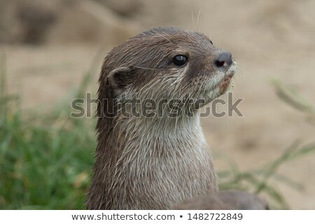 An oriental small-clawed otter / Aonyx cinerea / Asian small-cla Stock photo © lightpoet