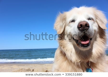 golden retriever young dog portrait diagonal closeup