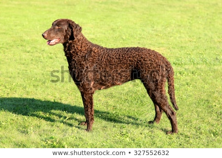 Typical  Curly Coated Retriever in the garden Stock photo © CaptureLight