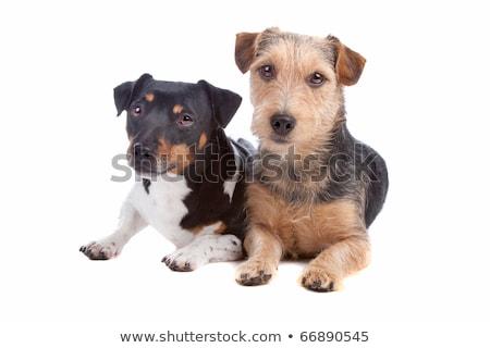 Mieszany włosy psa portret studio Zdjęcia stock © vauvau