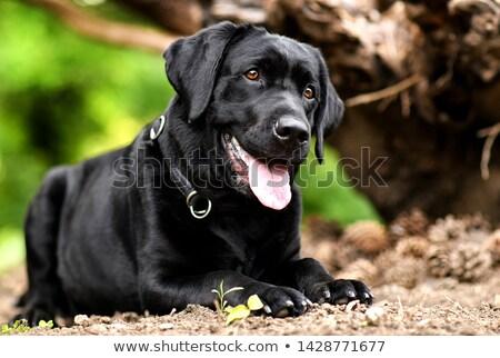 Cão preto labrador sol retrato Foto stock © goroshnikova