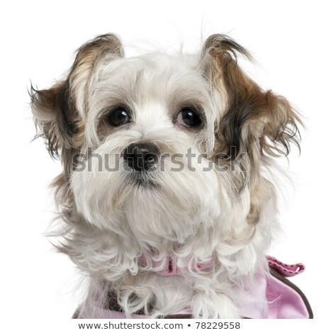 studio shot of a dressed mixed breed dog stock photo © vauvau