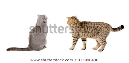 Vue arrière cute britannique chat regarder derrière Photo stock © feedough