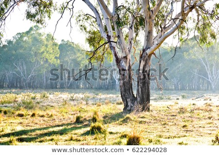gum tree in rural farm countryside stock photo © lovleah