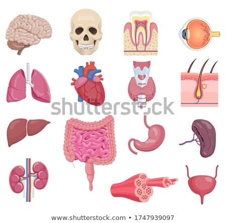腎臓 実例 ベクトル シンボル デザイン 医療 ストックフォト © blaskorizov