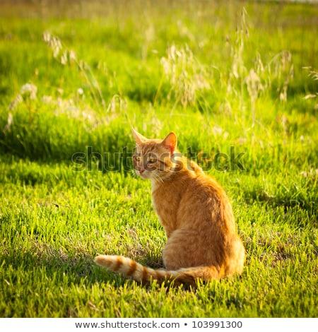 Gengibre gato grama quente verão noite Foto stock © Lopolo