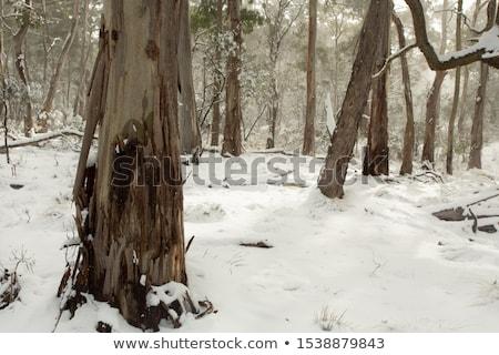 Sakız ağaç havlama avustralya manzara kar Stok fotoğraf © lovleah