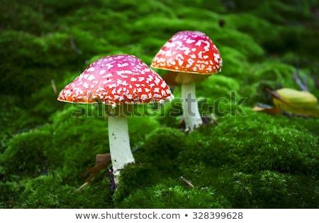 Toxique rouge champignons bois sécher fiche Photo stock © RuslanOmega