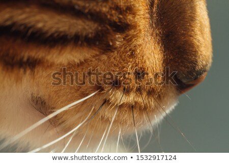 Bengal kitten eyes in macro close up Stock photo © backyardproductions