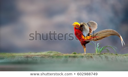 golden pheasant Stock photo © taviphoto