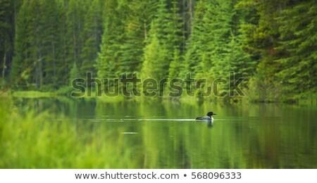 Gliding Loon Stock photo © ca2hill