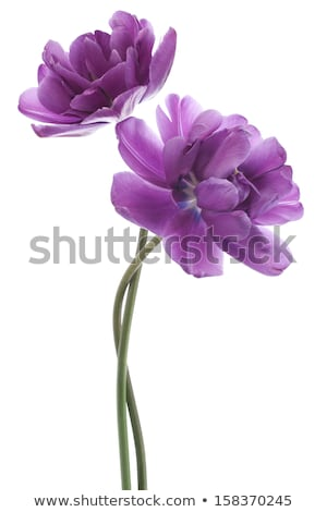 iki · nektar · mor · çiçekler · çiçek - stok fotoğraf © michaklootwijk