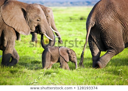 Elephants family on savanna. Safari in Amboseli, Kenya, Africa Stock photo © photocreo