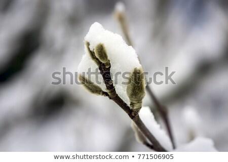 Stok fotoğraf: Tomurcuk · buz · damla · bulanık · çiçek · arka · plan