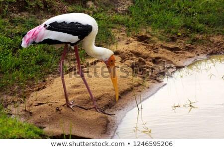 painted storks at yala np stock photo © hofmeester