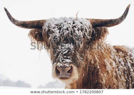 バイソン · 冬 · 日 · 雪 · 木材 · 森林 - ストックフォト © emattil