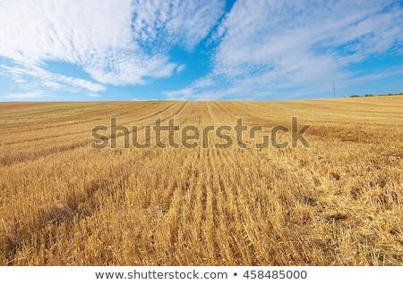 trigo · colheita · pormenor · ver · grão · campo · de · trigo - foto stock © mycola