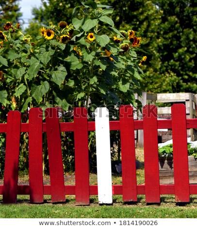 sunflowers behind the fence stock photo © capturelight