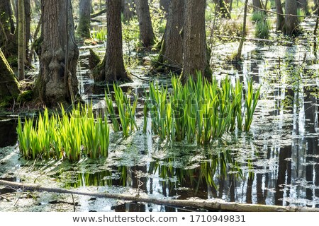 famous swamp area in usedom national park  Stock photo © meinzahn