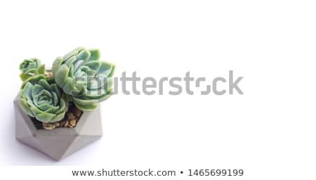 Klein huis plant handen geïsoleerd witte Stockfoto © fantazista