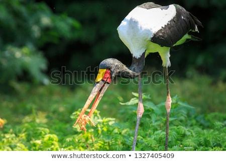 Yellow Billed Stork with Chicks stock photo © JFJacobsz