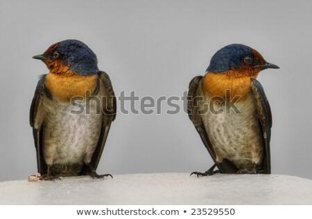 Tree Swallow Looking Back Stock photo © ca2hill