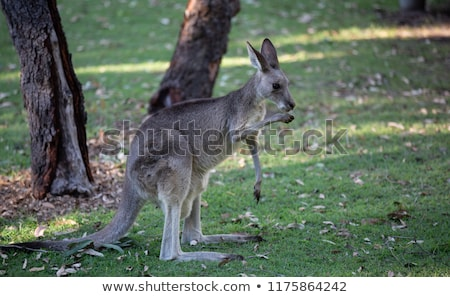 eastern grey kangaroo macropus giganteus stock photo © dirkr