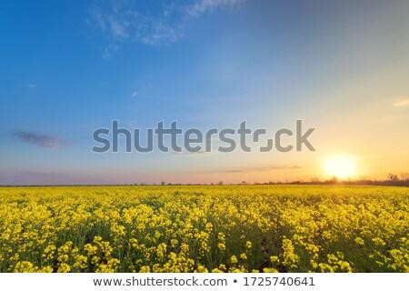 Violación campo verano temporada cielo flor Foto stock © goce