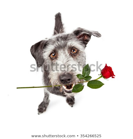 Mixed breed gray cute dogsitting and lookig up in a white studio Stock photo © vauvau