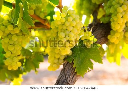 Green chardonnay grapes Stock photo © njnightsky
