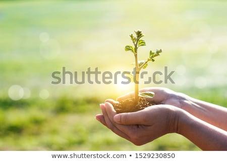 Kéz fiatal zöld hajtás föld lugas Stock fotó © robuart
