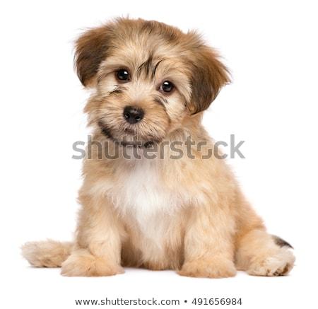 мало щенков белый маленькая комнатная собачка изолированный портрет Сток-фото © ivonnewierink