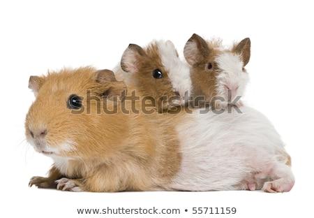 kettő · Guinea · malacok · fehér - stock fotó © monkey_business