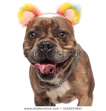 cute american bully wearing colorful ears headband looks to side Stock photo © feedough