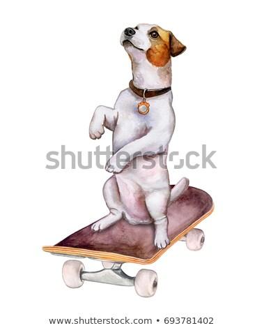 Sylwetka godny podziwu jack russell terrier odizolowany biały piękna Zdjęcia stock © vauvau