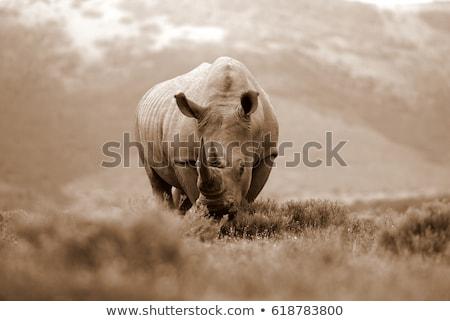 белый Rhino ЮАР природы путешествия Сток-фото © simoneeman